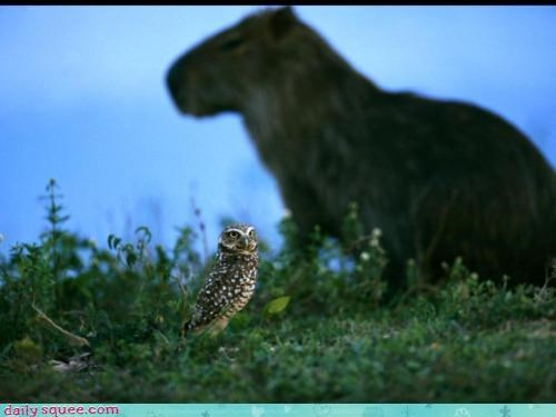 background burrow owl capybara dramatic foreground squee spree suspense
