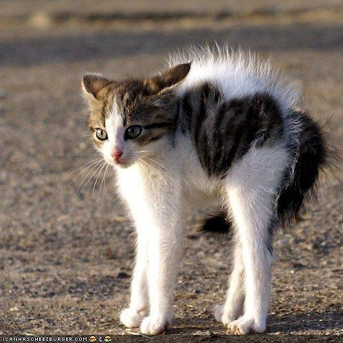 arched cyoot kitteh of teh day heart heart attack hissing - 4466966016
