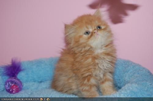 ball cyoot kitteh of teh day Fluffy fur orange round - 4466966784