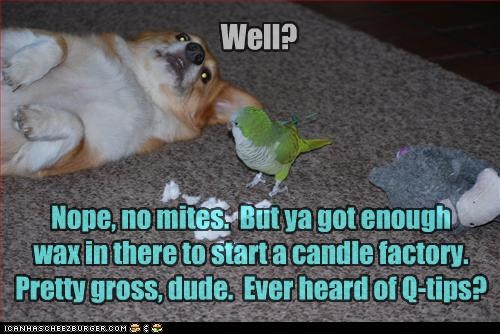 candle,checking,check up,corgi,ear,ears,earwax,factory,gross,lots,mites,none,parrot,q-tips,question,suggestion,wax