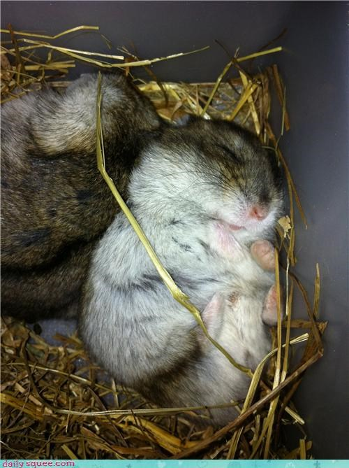 afternoon ball balled up best curled curled up do want fur hairball hamster kind nap sleeping sweet - 4467813632