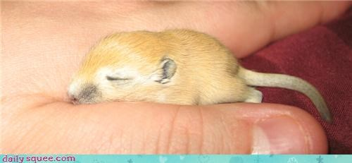 adorable beautiful gerbil old runt sleeping tiny two two weeks old weeks - 4468353536