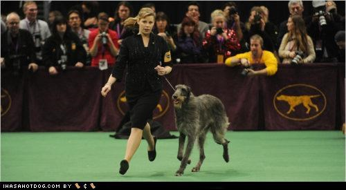 Best In Show competition deerhound dog show ribbon scottish title westminster Westminster Dog Show win winner - 4469025024