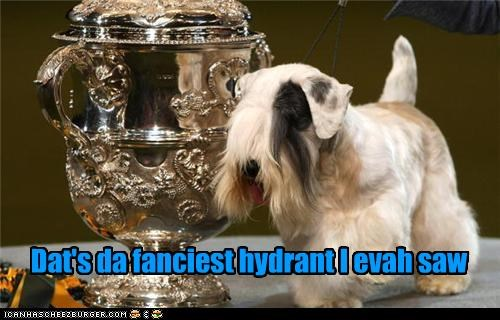 bichon frise,confused,confusion,fanciest,fancy,hydrant,surprised,trophy,WoW