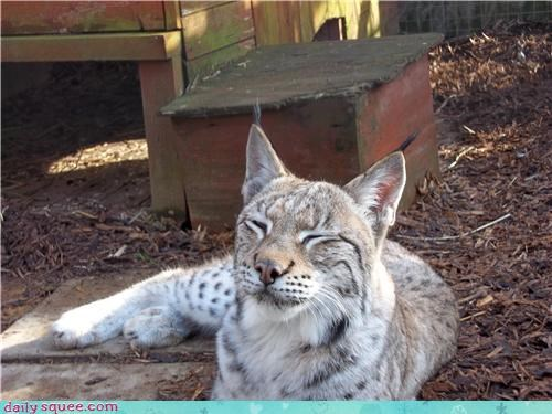 animalarium awesome happy heartwarming lynx shelter smile smiling Wales - 4472019456