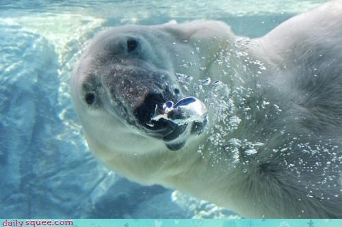 acting like animals bear guest hiding interrupting pesky picnic polar bear question rude swimming underwater unexpected - 4473259520