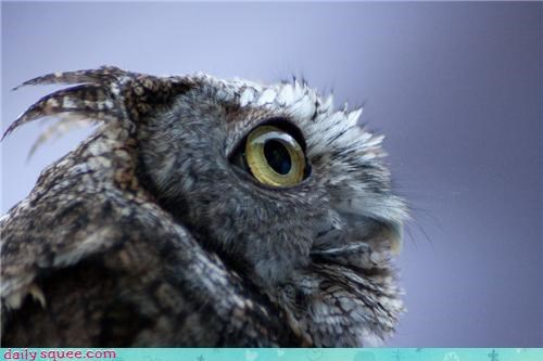 end Owl owls pun Sad squee spree Staring - 4473351680