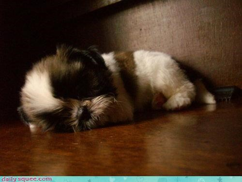 do not want five minutes more morning puppy shih tzu sleeping tired waking up