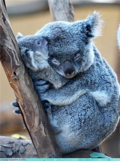 baby,cub,family,instinct,koala,literalism,love,maternal,mother,pun,stifling