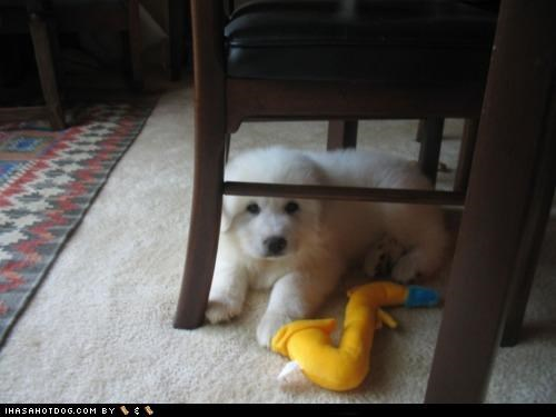 afraid cat chair fear gone great pyrenees hiding peeking puppy puppy eyes themed goggie week under - 4475596544