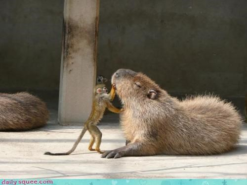 acting like animals advice assistance capybara doctor helping monkey question questions trying - 4476726784