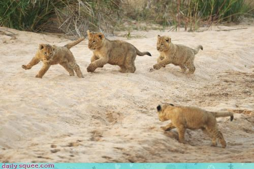 acting like animals Babies baby beach cub cubs excited friends friendship frolicking playing running sand tiger tigers - 4476740608