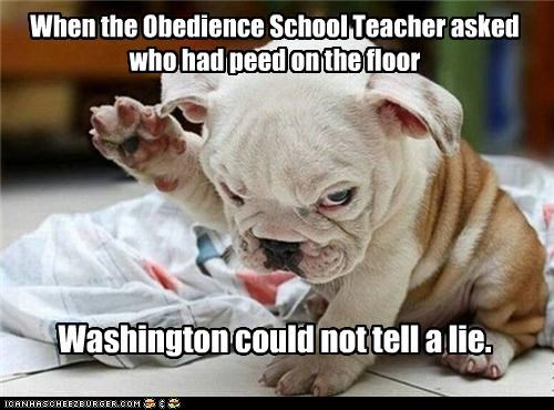 bulldog,cannot tell a lie,lie,obedience school,oops,pee,pee pee,puppy,raised hand,washington