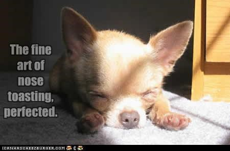 art asleep chihuahua fine light nose perfect perfected puppy sleeping sun sunlight toasting - 4484325120