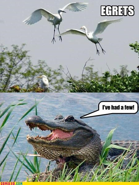 alligator,animals,egrets,nature,puns