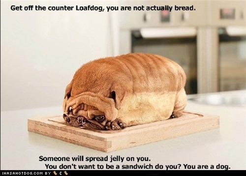 best of the week bread Hall of Fame i has a hotdog loaf loafdog meme memedogs photoshop pug question weird wtf - 4485573632