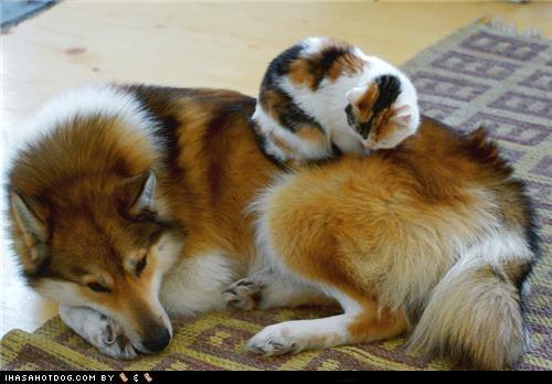 cat cuddling friends friendship kittehs r owr friends not Pillow resting sleeping whatbreed - 4488678912