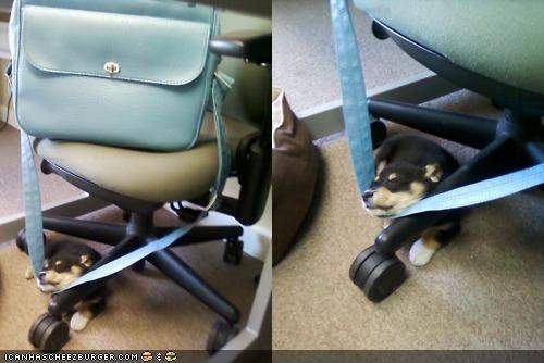 bag,chair,corgi,cyoot puppeh ob teh day,mixed breed,puppy,strap,stuck