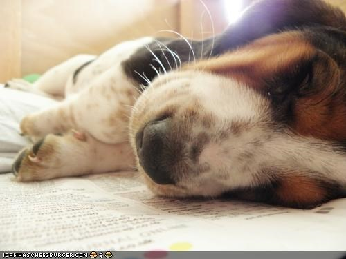 asleep,basset hound,cyoot puppeh ob teh day,nap,napping,newspaper,puppy,sleeping