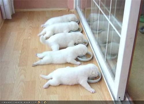 crawling cyoot puppeh ob teh day eating labrador puppies puppy routine sleeping sunday Sundog - 4488943616