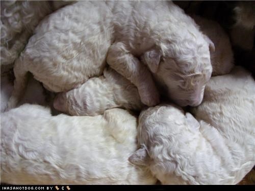 Growing hair komondor not yet pile puppies puppy sleeping tangle tangles themed goggie week - 4489037824