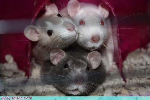 cramped crowded cuddling house join joining Party permission question rat rats snug