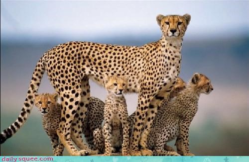 acting like animals angry cheetah cheetahs cub cubs maternal mother offended protective - 4490127104