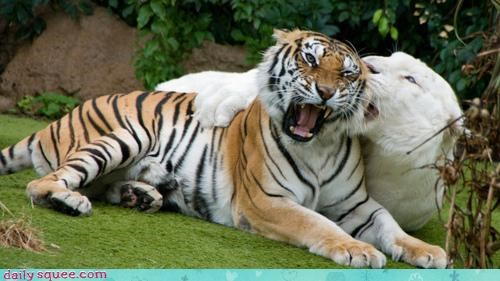 acting like animals,albino,biting,do not want,ear,love,pain,playing,pleading,question,request,rough,tender,tiger,tigers