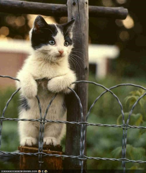 black and white,cyoot kitteh of teh day,fence,grass,nature,stand,standing