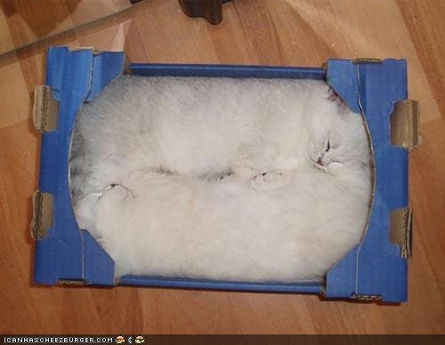 asleep box boxes cardboard cyoot kitteh of teh day pod tight squeeze two cats white - 4490403584