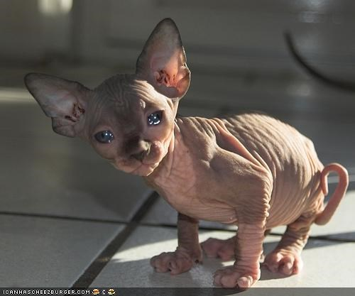 au natural cold cry cyoot kitteh of teh day eyes hairless Sad - 4490404096