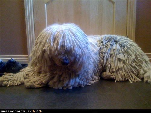 cant confused covered eyes find hair komondor lost question themed goggie week