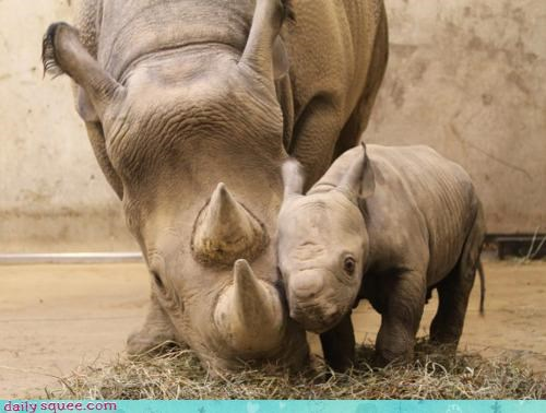 adorable baby black rhino cuddling infant rhino rhinoceros rhinos - 4493503488