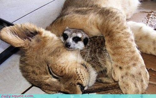 baby,cuddling,friends,halp,help,lion,meerkat,nap,sleeping,squee spree