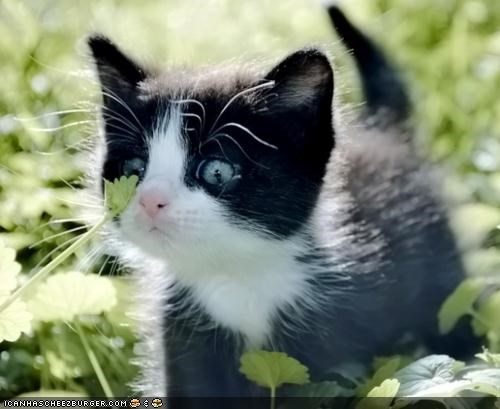 black and white,blue eyes,cilantro,curious,cyoot kitteh of teh day,nose,weed,what is it