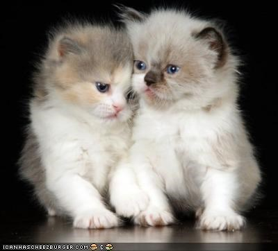 cyoot kitteh of teh day Fluffy twins two cats - 4494030336