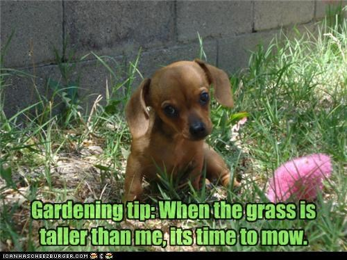 dachshund gardening grass mow mowing outside tall taller time tip when