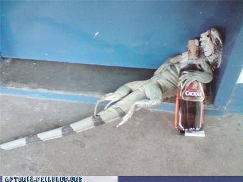 iguana lizard passed out tequila - 4496021248