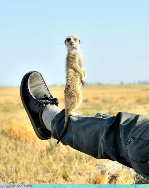 conclusion leg meerkat pun squee spree standing surprised wide eyed - 4496848128