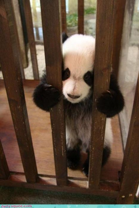 acting like animals baby bamboo bars cage crib doing time jail locked up panda panda bear prison stuck trafficking