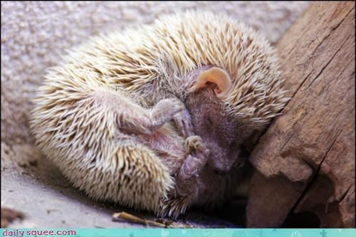 asleep bundle curled up hedgehog nap nap time objection prickly sleeping - 4496877824