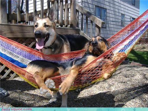 dachshund,dog days,dogs,german shepherd,hammock,reader squees,relaxing,sleeping,summer