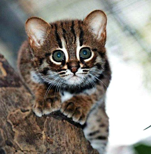 the smallest wild cat