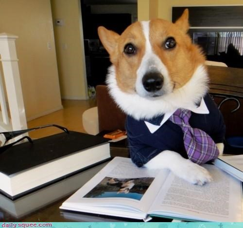 corgi,dressed up,employer,interview,job,learned,prestigious,professional,suit,tie