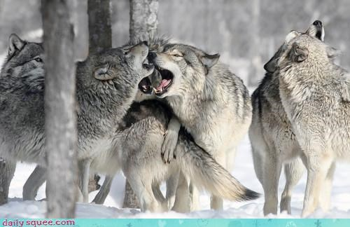 acting like animals mistake Music singing song wolf wolves - 4500473344