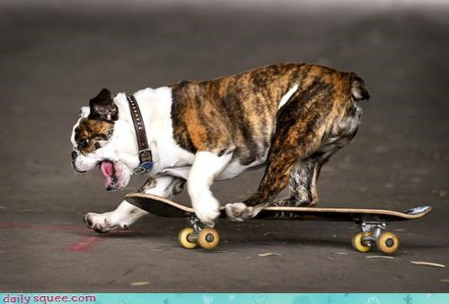 practicing acting like animals gold appreciative desire X Games skateboard bulldog competing competition fans skateboarding encouraged - 4500477952
