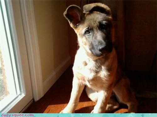 dogs ears floppy german shepherd noms overheard overhearing puppy reader squees - 4503098624