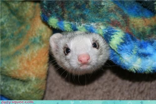 adorable,blankets,covers,ferret,happy,hello,hiding,peekaboo,reader squees,surprise