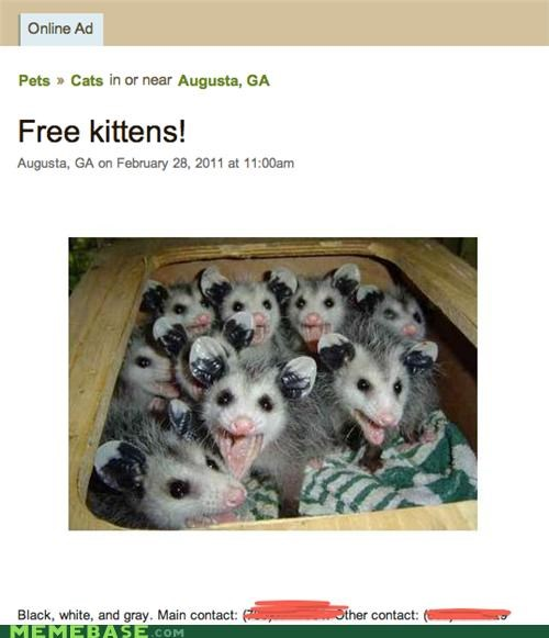 cat,free,I love a good sequel post,IRL,kitten,lost,opossum
