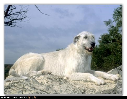 irish wolfhound king kingly mountain regal standing themed goggie week winner - 4509460224